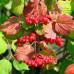 Калина садовая «Шукшинская»