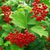Калина садовая «Рябинушка»