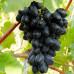 Виноград «Кодрянка»
