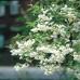 Ландышевое дерево Halesia Carolina