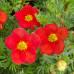 Лапчатка кустарниковая red ace