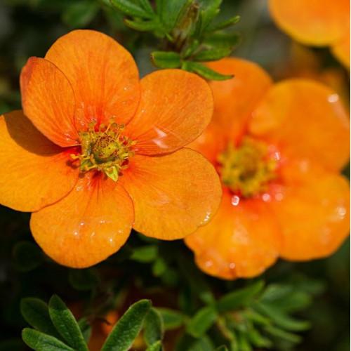 Лапчатка кустарниковая orange star