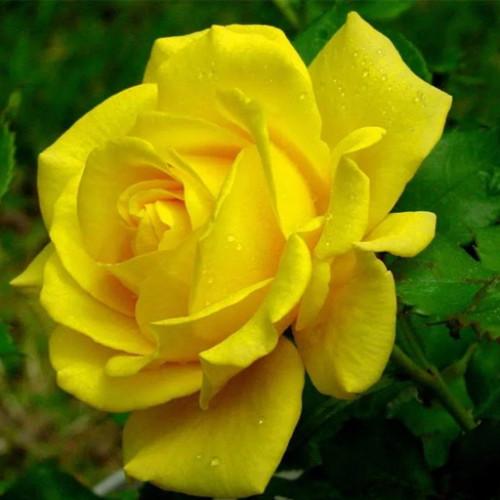 Роза кустовая «Керн»
