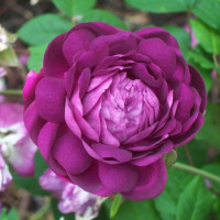 Роза кустовая «Кардинал де Ришелье»