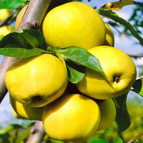 Яблоня «Антоновка золотая»