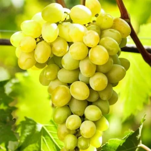 Виноград «Августин»