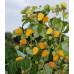 Малина «Желтый Гигант»