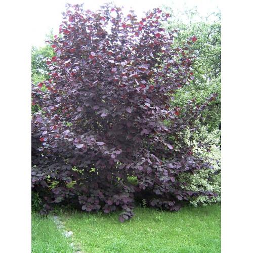 Лещина обыкновенная maxima purpurea