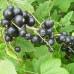 Смородина черная «Муравушка»