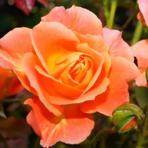 Роза кустовая «Оранжевая Магия»