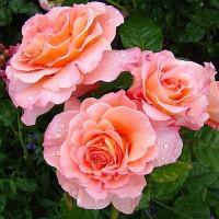 Роза английская «Ленни»
