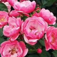 Роза кустовая «Анжела»