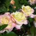 Роза кустовая «Глория Дей»