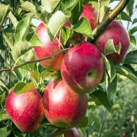 Яблоня «Брусничное»