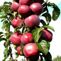 Колоновидная яблоня «Московское Ожерелье».