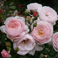 Роза плетистая «Нахема»