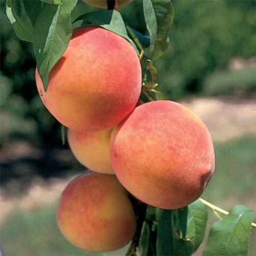 Колоновидный персик «Сувенир»