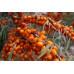 Облепиха «Ботаническая»