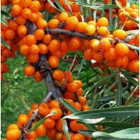 Облепиха «Дар Катуни»