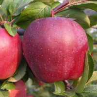 Яблоня «Рихард»