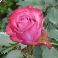 Роза кустовая «Дип Перпл»