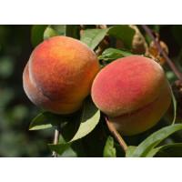 Колоновидный персик «Перстень»