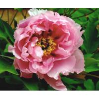 Пион древовидный Розовый Лотос