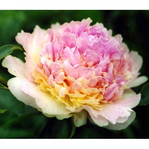 Пион Расберри Санде (Raspberry Sundae)