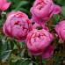 Пион Роял роуз