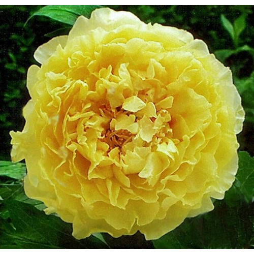 Пион древовидный желтый Ай Ли Се (Ai Li Si)