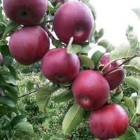 Яблоня «Макинтош»