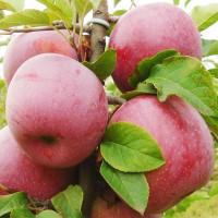Яблоня «Флорина»