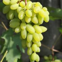 Виноград «Тимур»