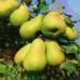 Колоновидная груша «Нежность»