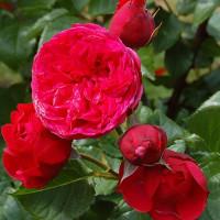 Роза английская «Пиано Фриленд»