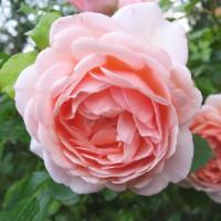 Роза английская «Афродита»