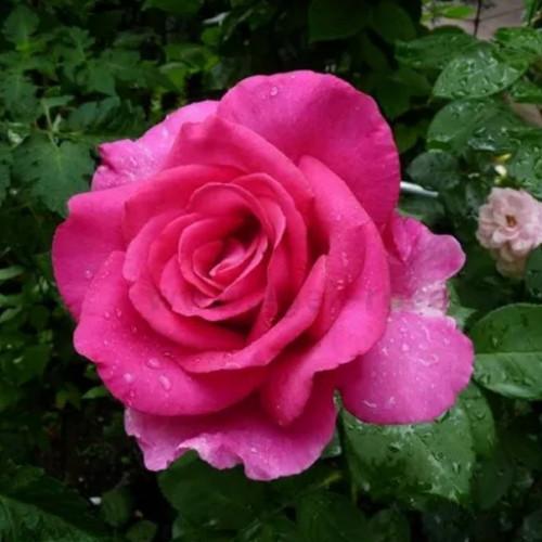 Роза кустовая «Утро Парижа»
