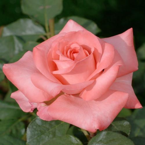 Роза кустовая «Пинк Ноблесс»