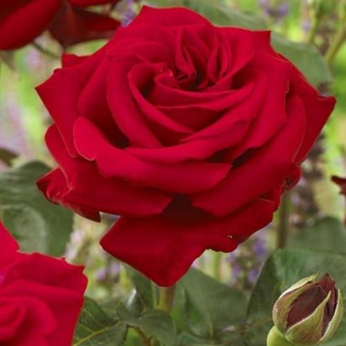 Роза кустовая «Эксплорер»