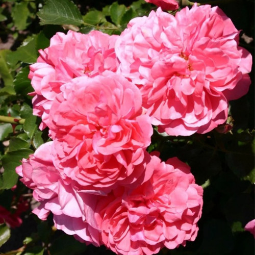 Роза плетистая «Розариум Ютерсен»