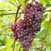 Виноград «Русский Ранний»