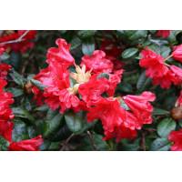 Рододендрон плотный scarlet wonder