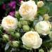 Роза английская «Пиано Веддинг»