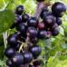 Смородина черная «Селеченская»