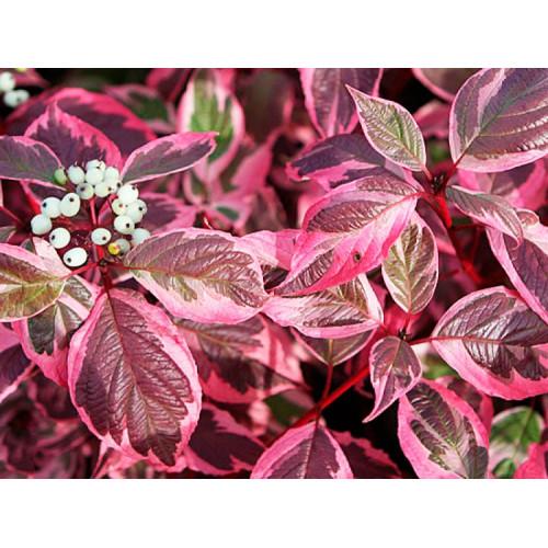 Дерен белый sibirica variegata
