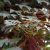 Клен белый atropurpureum