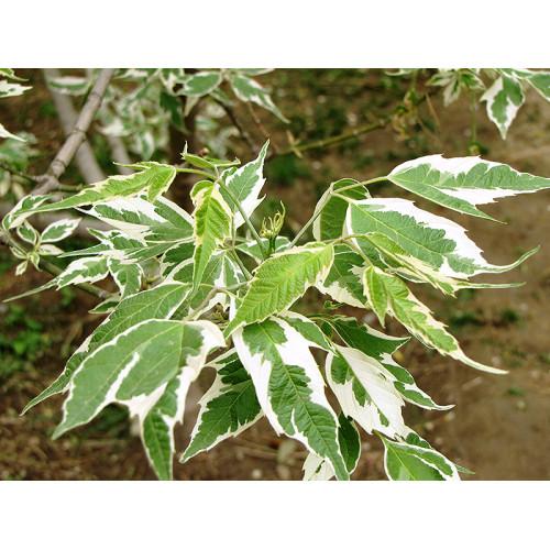 Клен ясенелистный aureomarginata