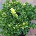 Самшит вечнозеленый Аурея вариегата