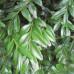 Самшит вечнозеленый angustifolia