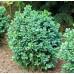 Самшит вечнозеленый blauer heinz